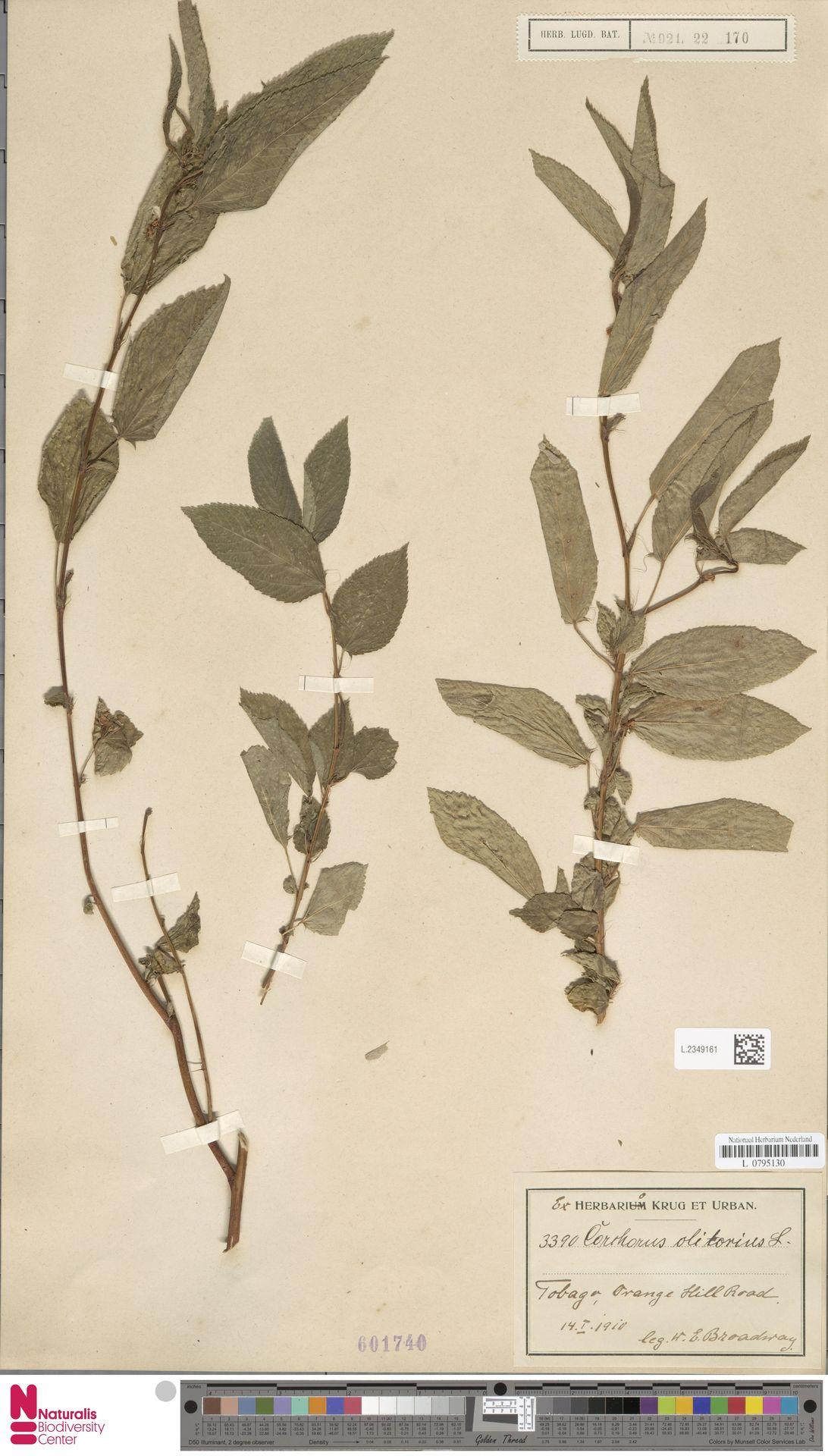 L.2349161 | Corchorus olitorius L.