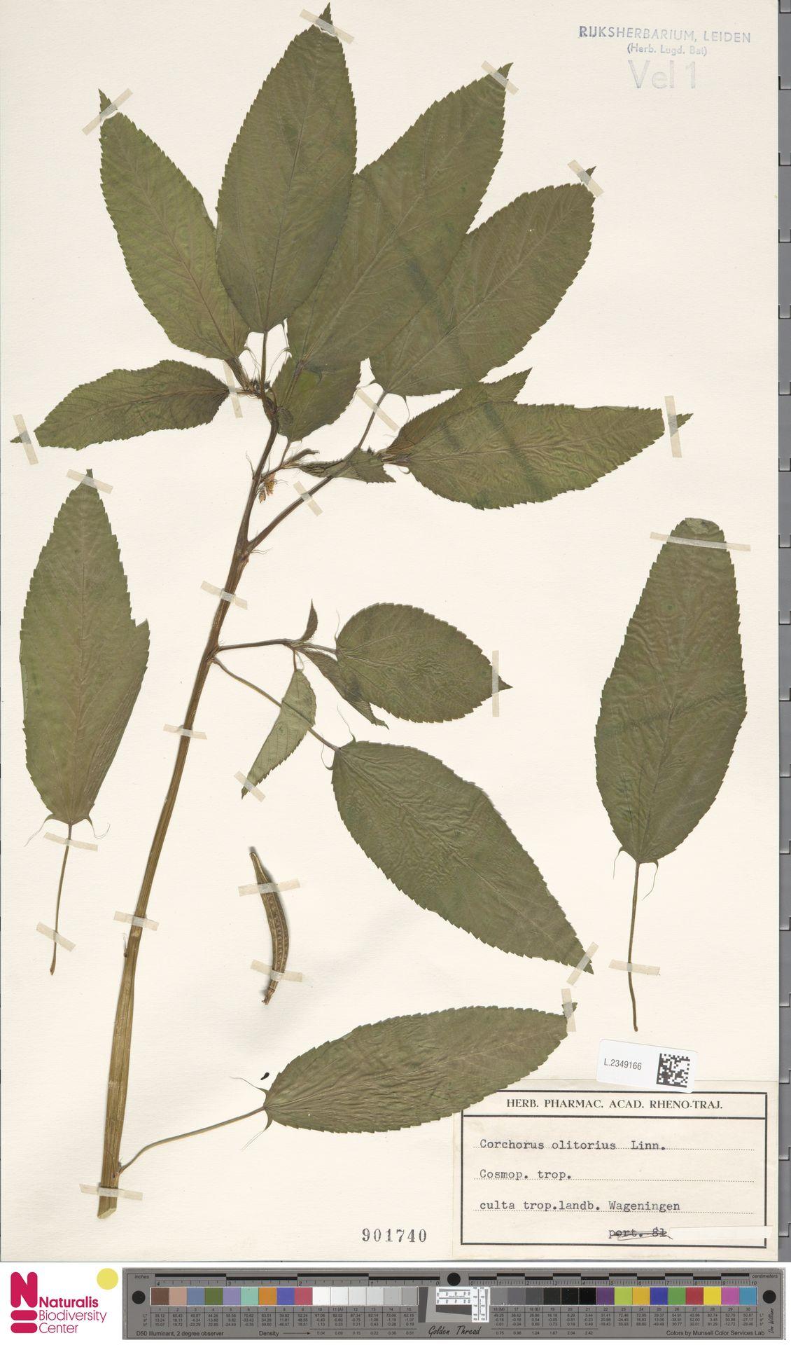 L.2349166 | Corchorus olitorius L.