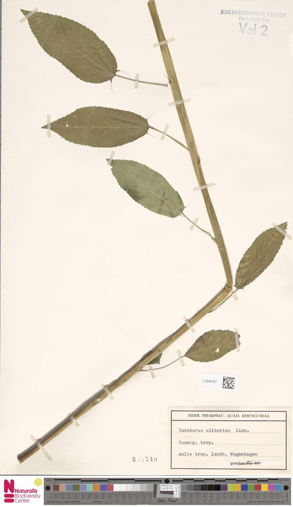 L.2349167 | Corchorus olitorius L.