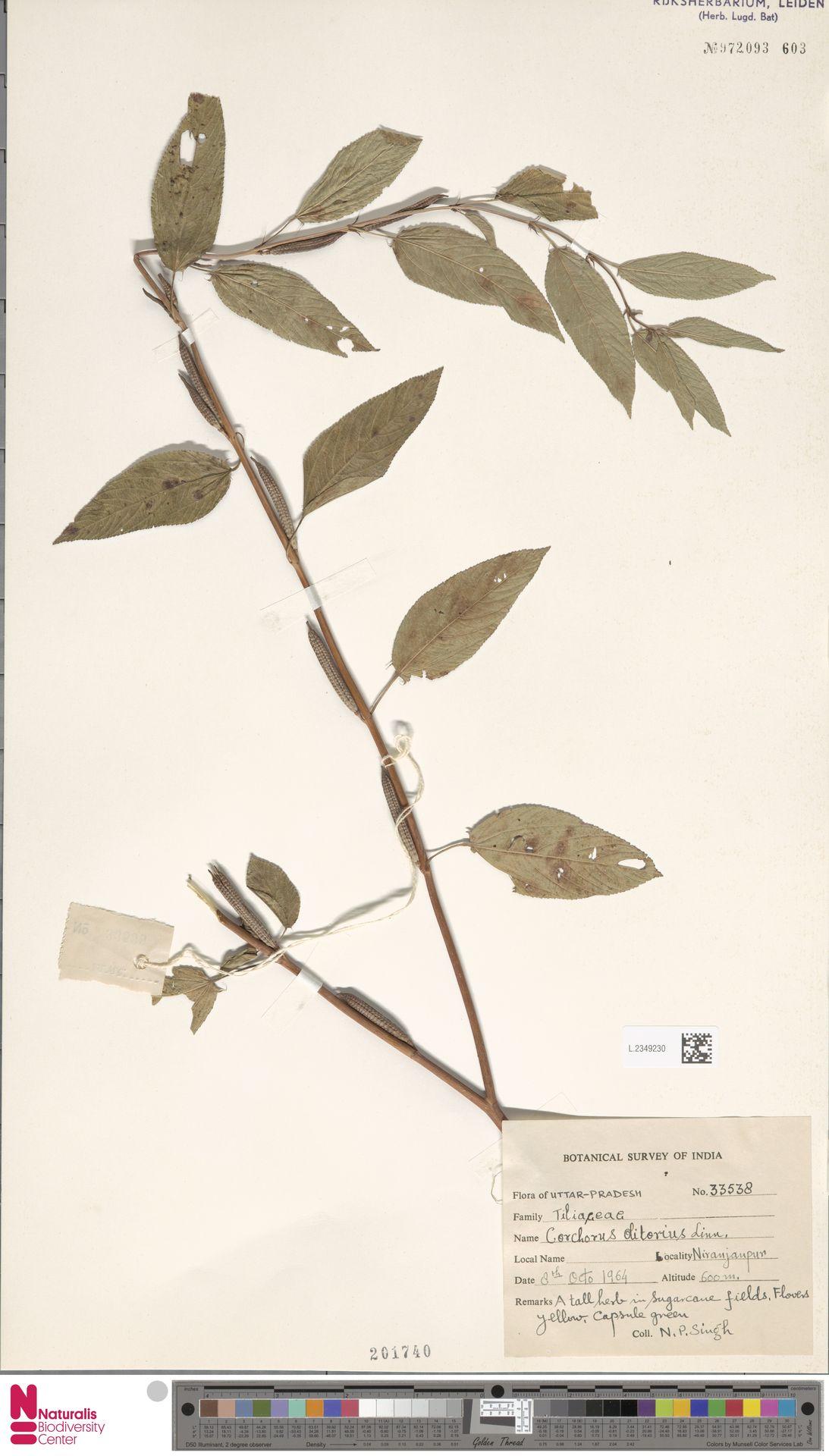 L.2349230 | Corchorus olitorius L.
