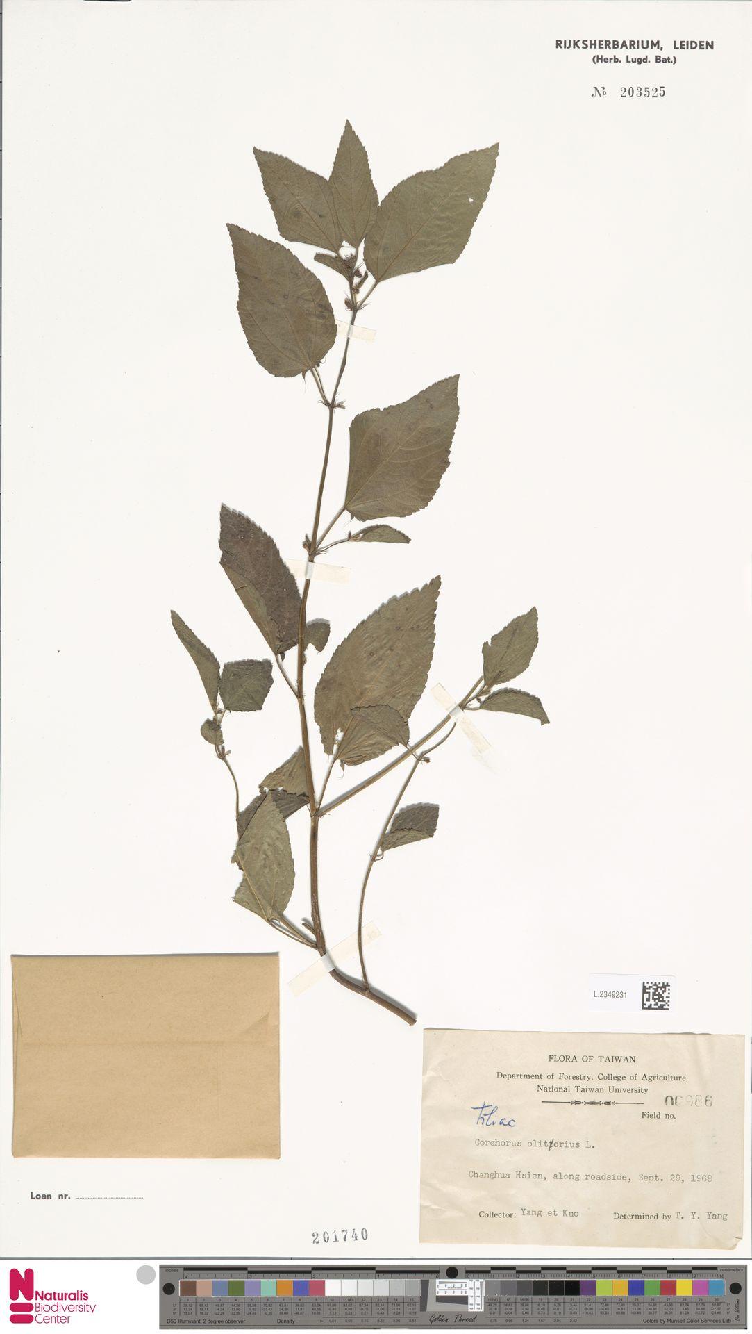 L.2349231 | Corchorus olitorius L.