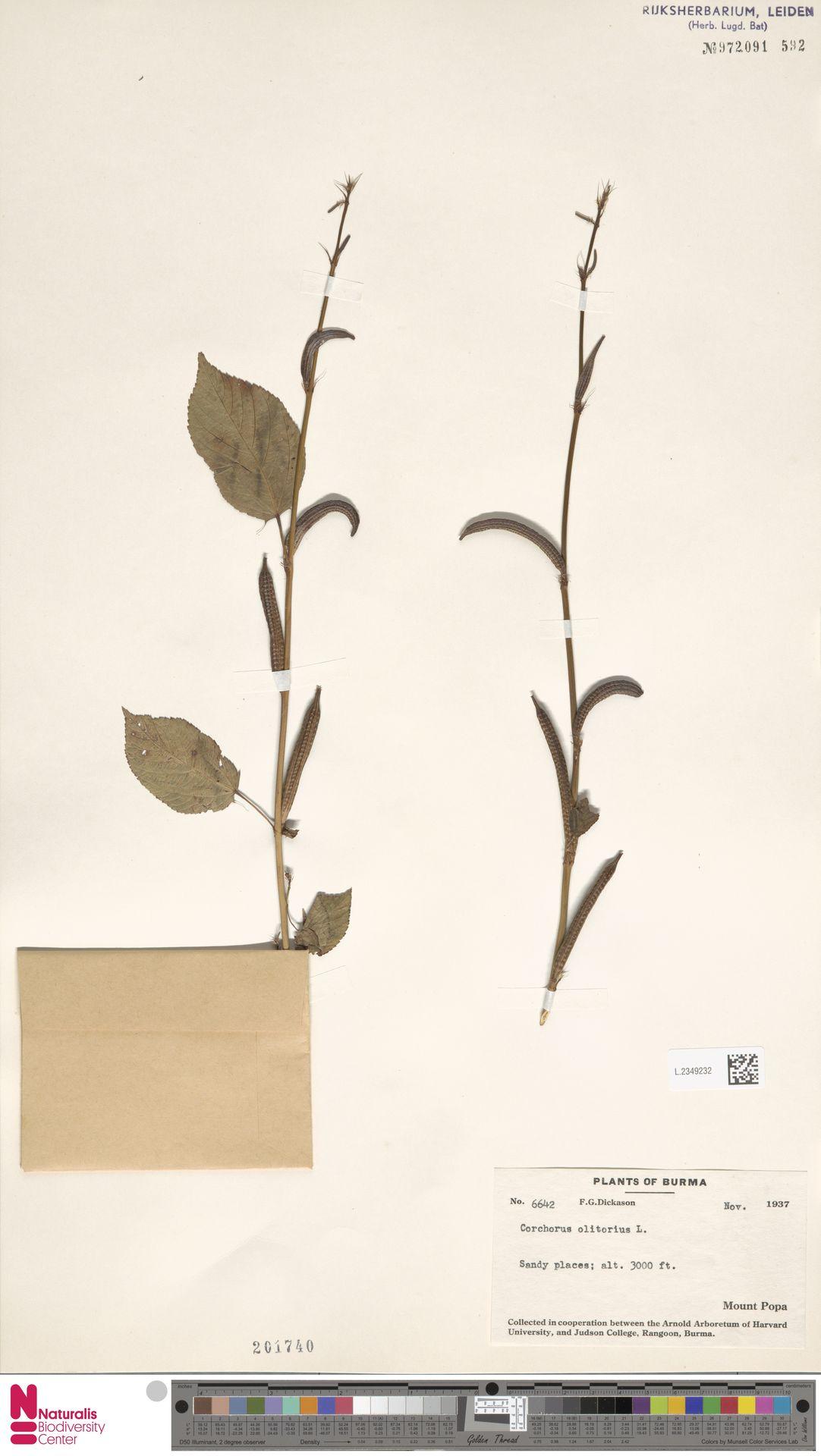 L.2349232   Corchorus olitorius L.
