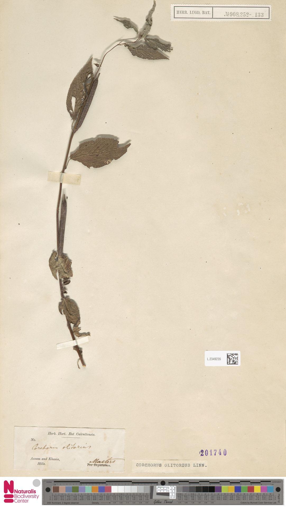 L.2349235   Corchorus olitorius L.