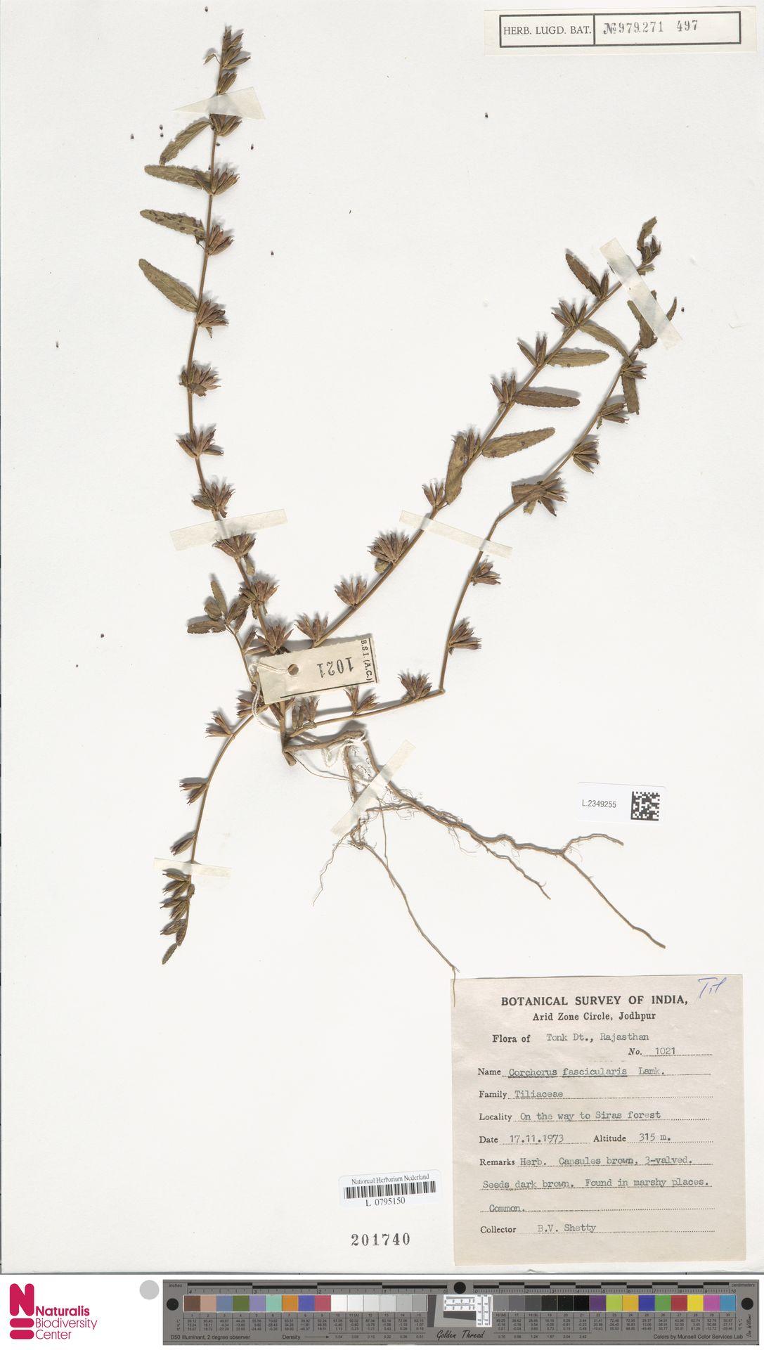 L.2349255 | Corchorus fascicularis Lam.