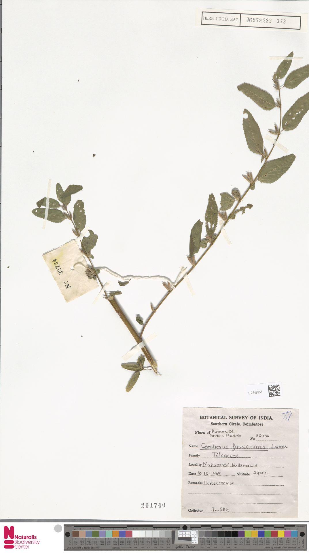 L.2349256 | Corchorus fascicularis Lam.