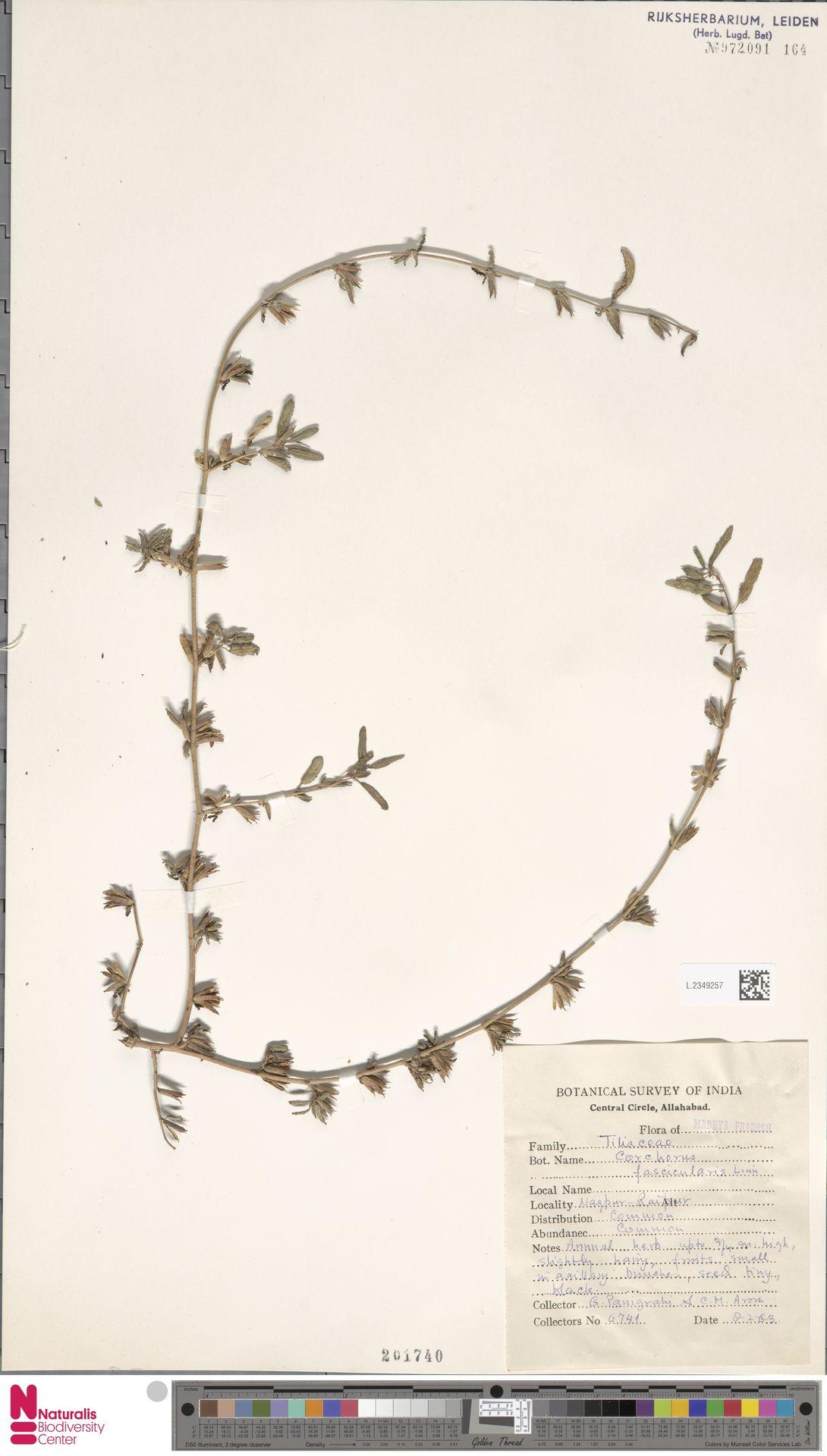 L.2349257 | Corchorus fascicularis Lam.