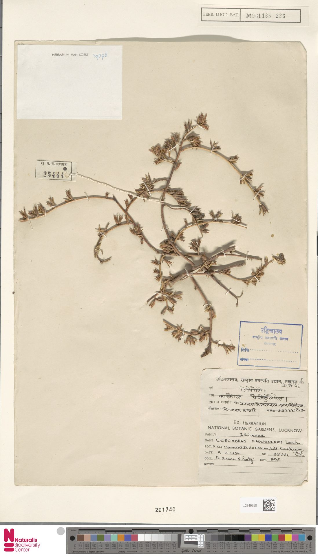 L.2349258 | Corchorus fascicularis Lam.
