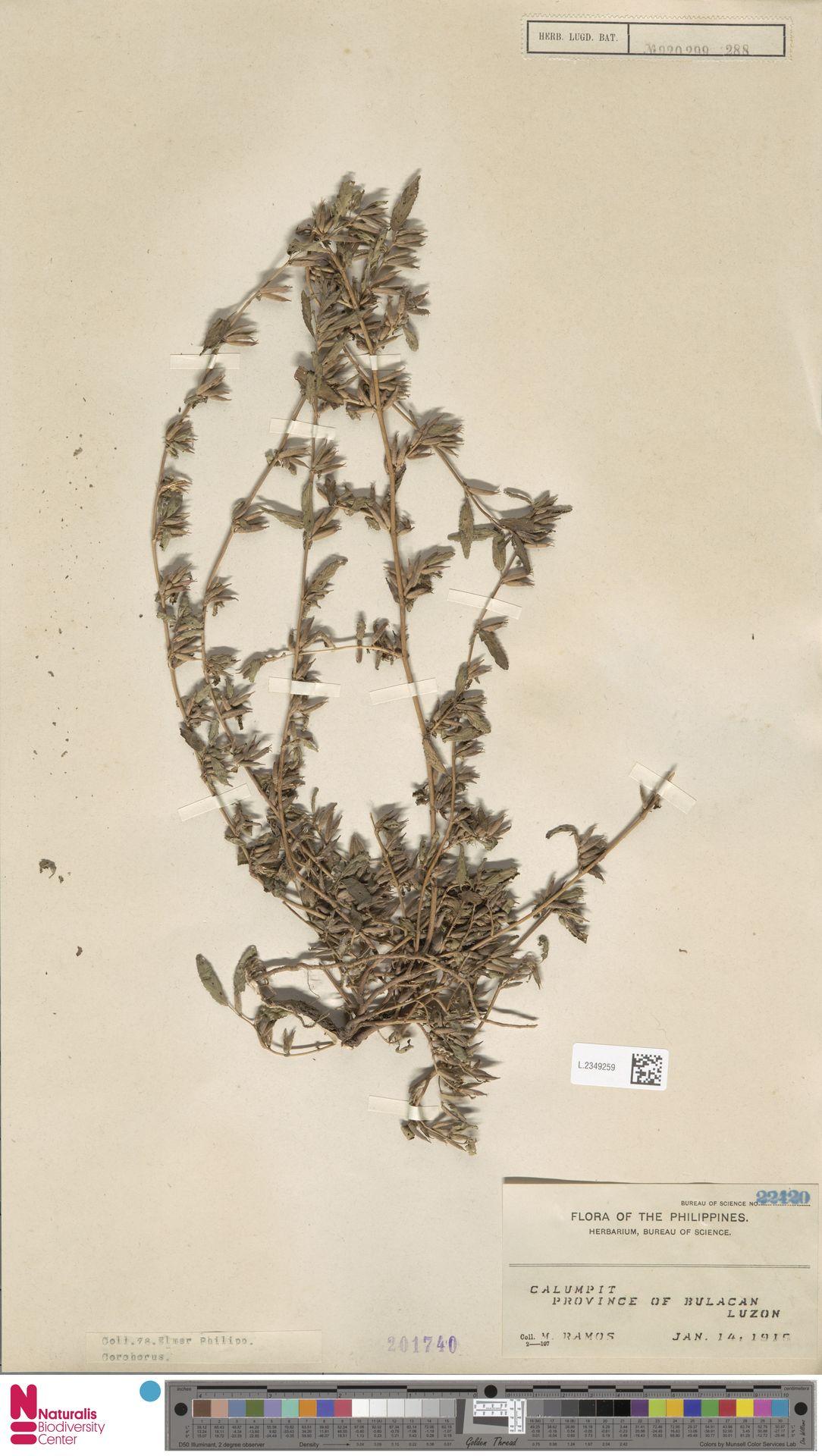L.2349259 | Corchorus fascicularis Lam.
