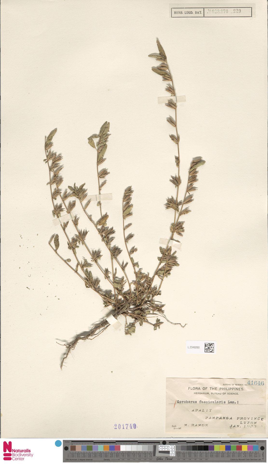 L.2349260 | Corchorus fascicularis Lam.