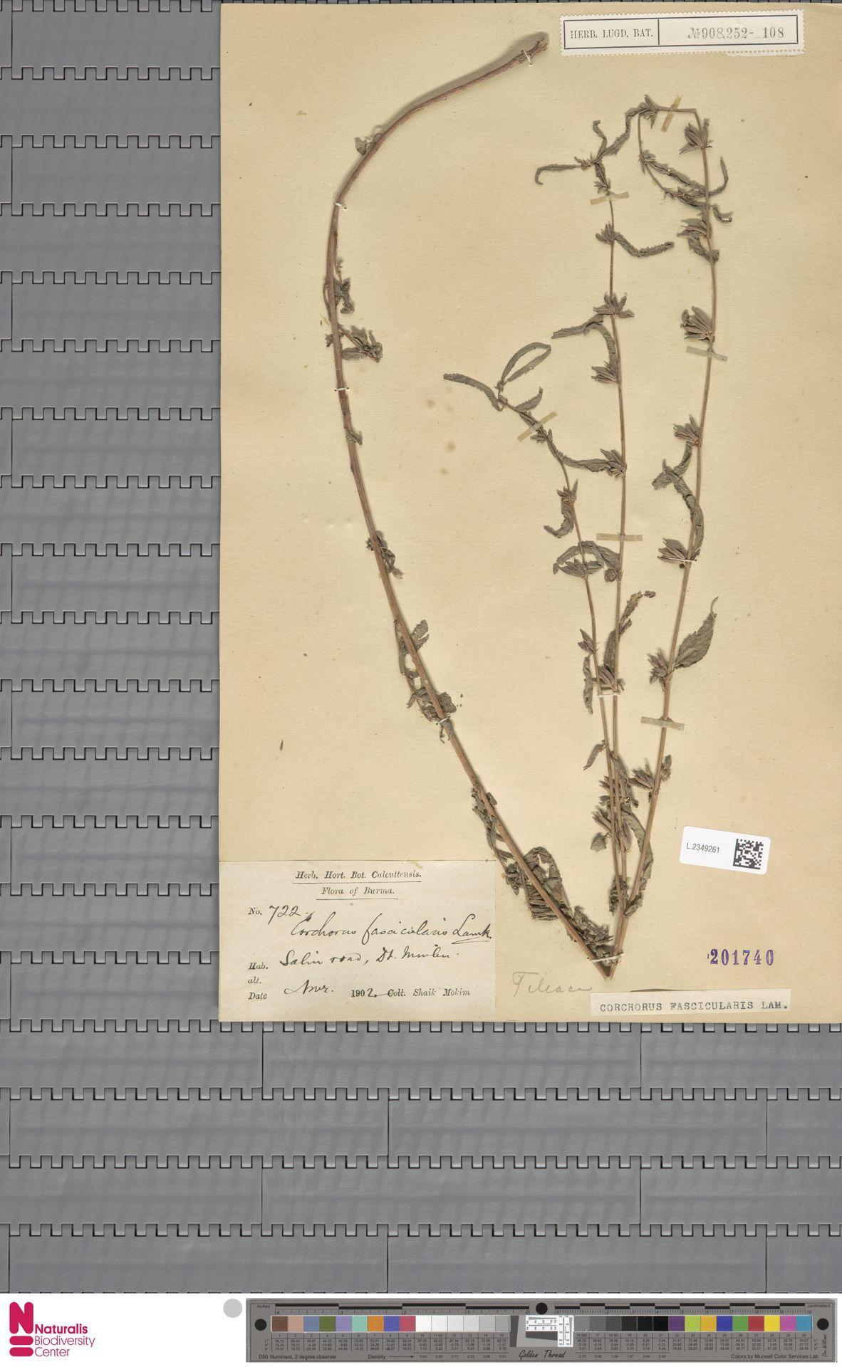 L.2349261 | Corchorus fascicularis Lam.