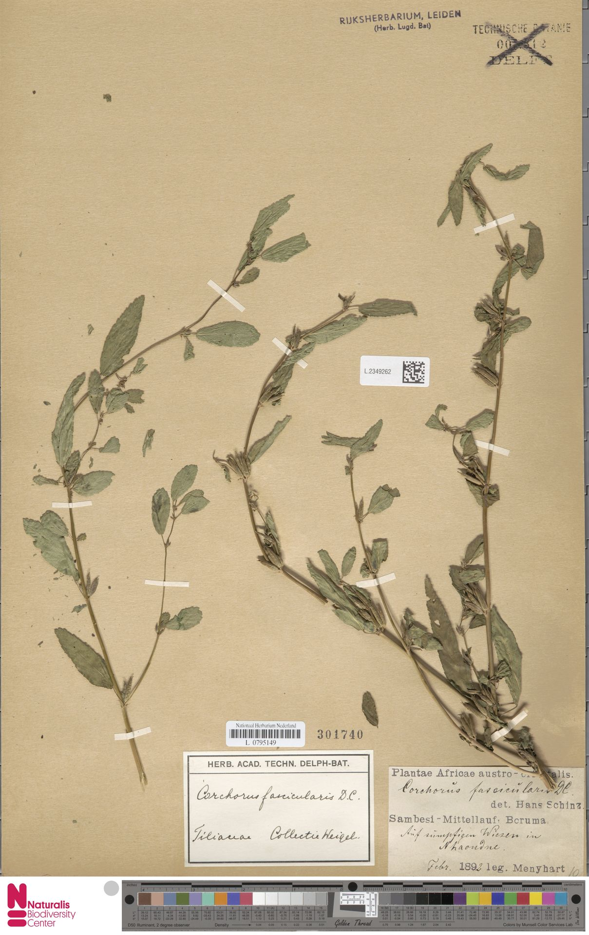 L.2349262 | Corchorus fascicularis Lam.