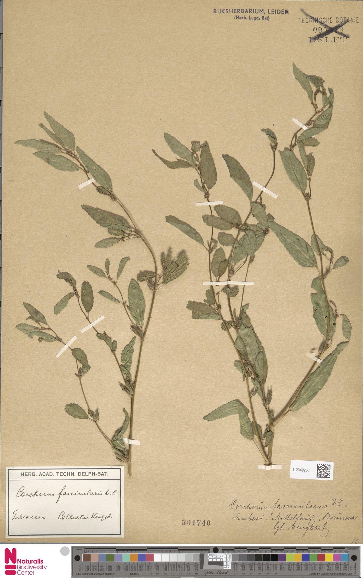 L.2349263 | Corchorus fascicularis Lam.