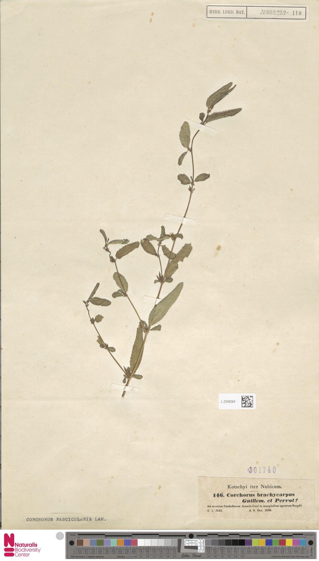 L.2349264 | Corchorus fascicularis Lam.