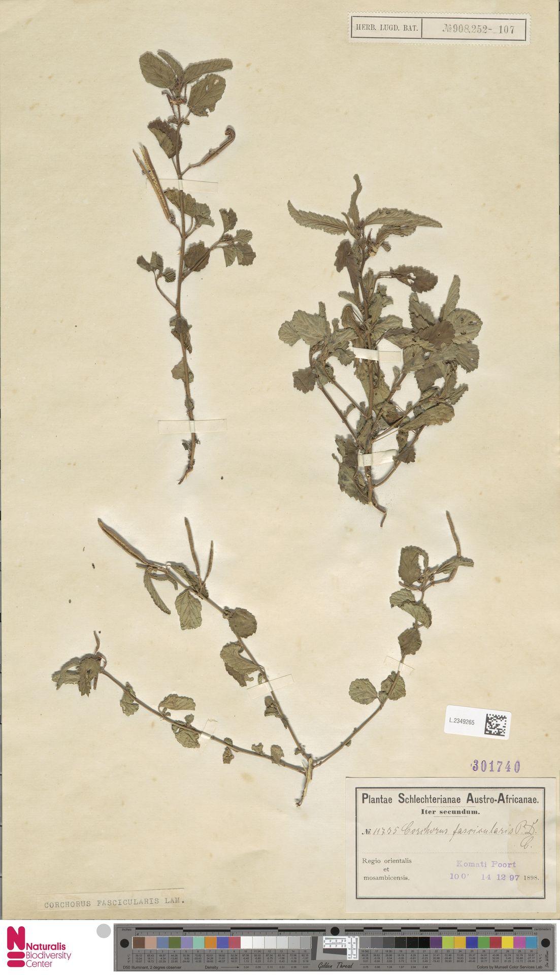 L.2349265 | Corchorus fascicularis Lam.