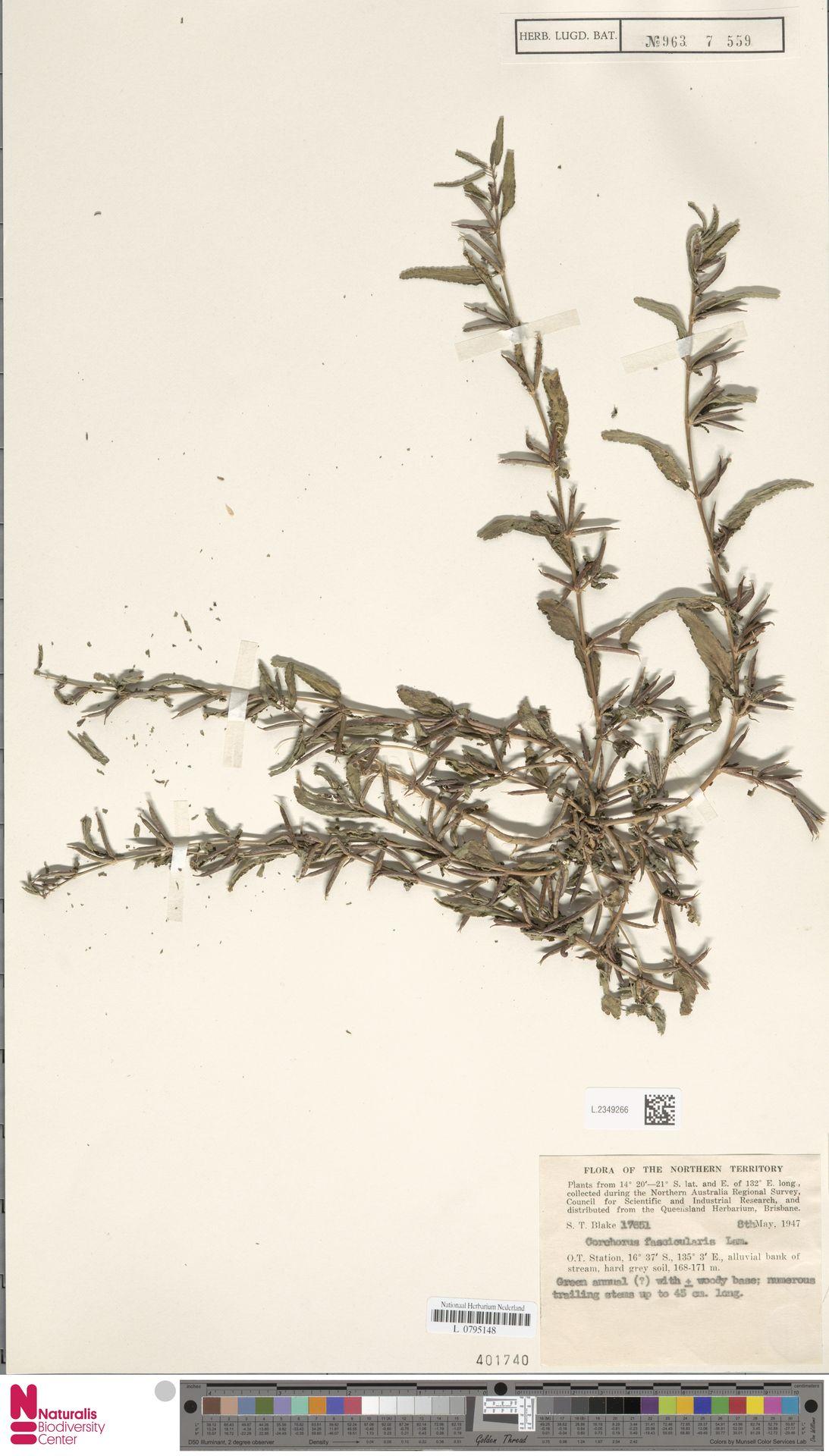 L.2349266 | Corchorus fascicularis Lam.