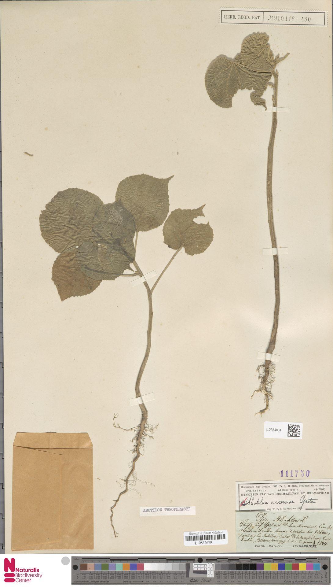L.2354834 | Abutilon theophrasti Medik.