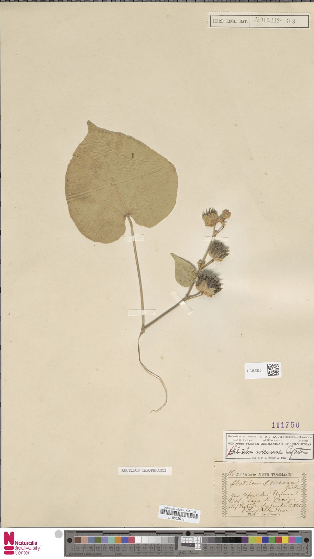 L.2354835 | Abutilon theophrasti Medik.