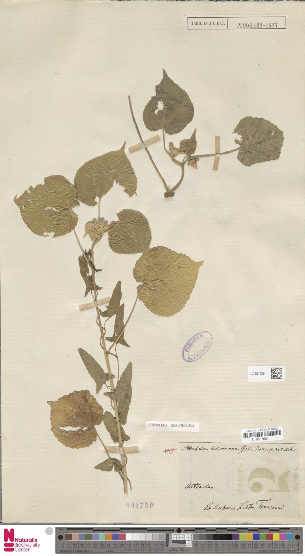 L.2354839 | Abutilon theophrasti Medik.