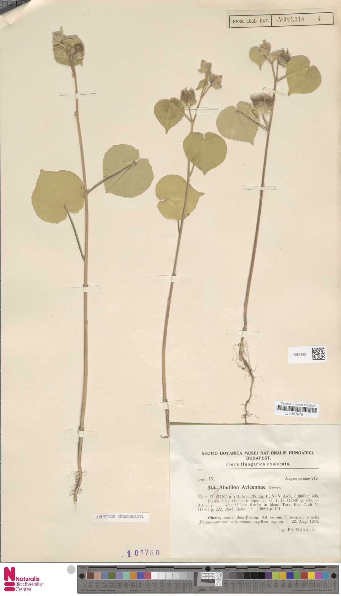 L.2354843 | Abutilon theophrasti Medik.