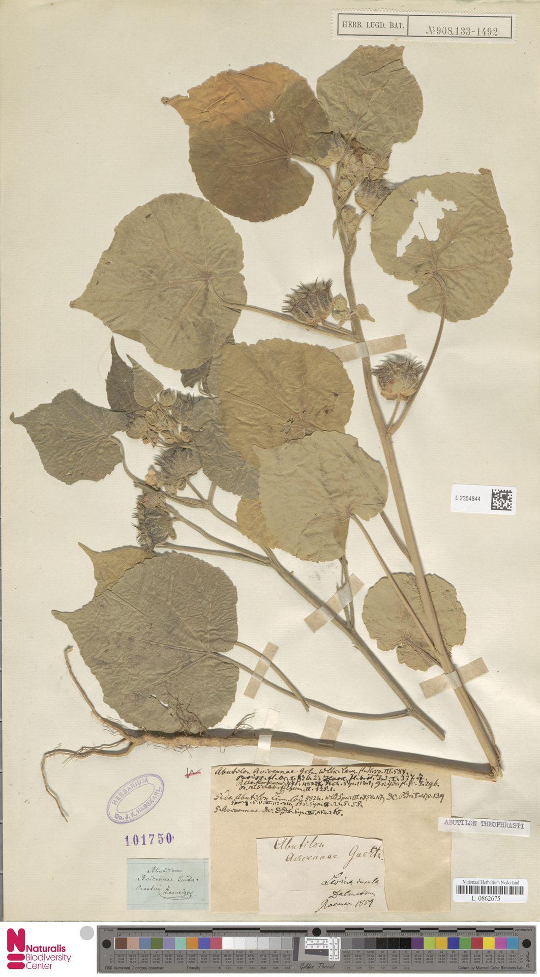 L.2354844 | Abutilon theophrasti Medik.