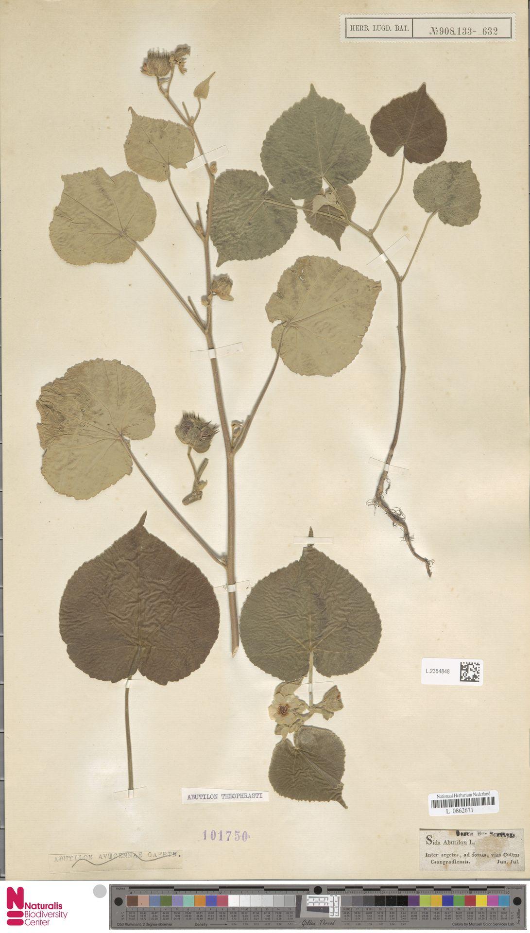 L.2354848 | Abutilon theophrasti Medik.