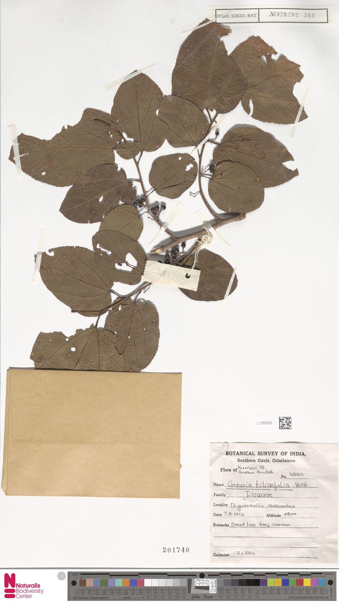 L.2355501 | Grewia tiliaefolia A.Rich.