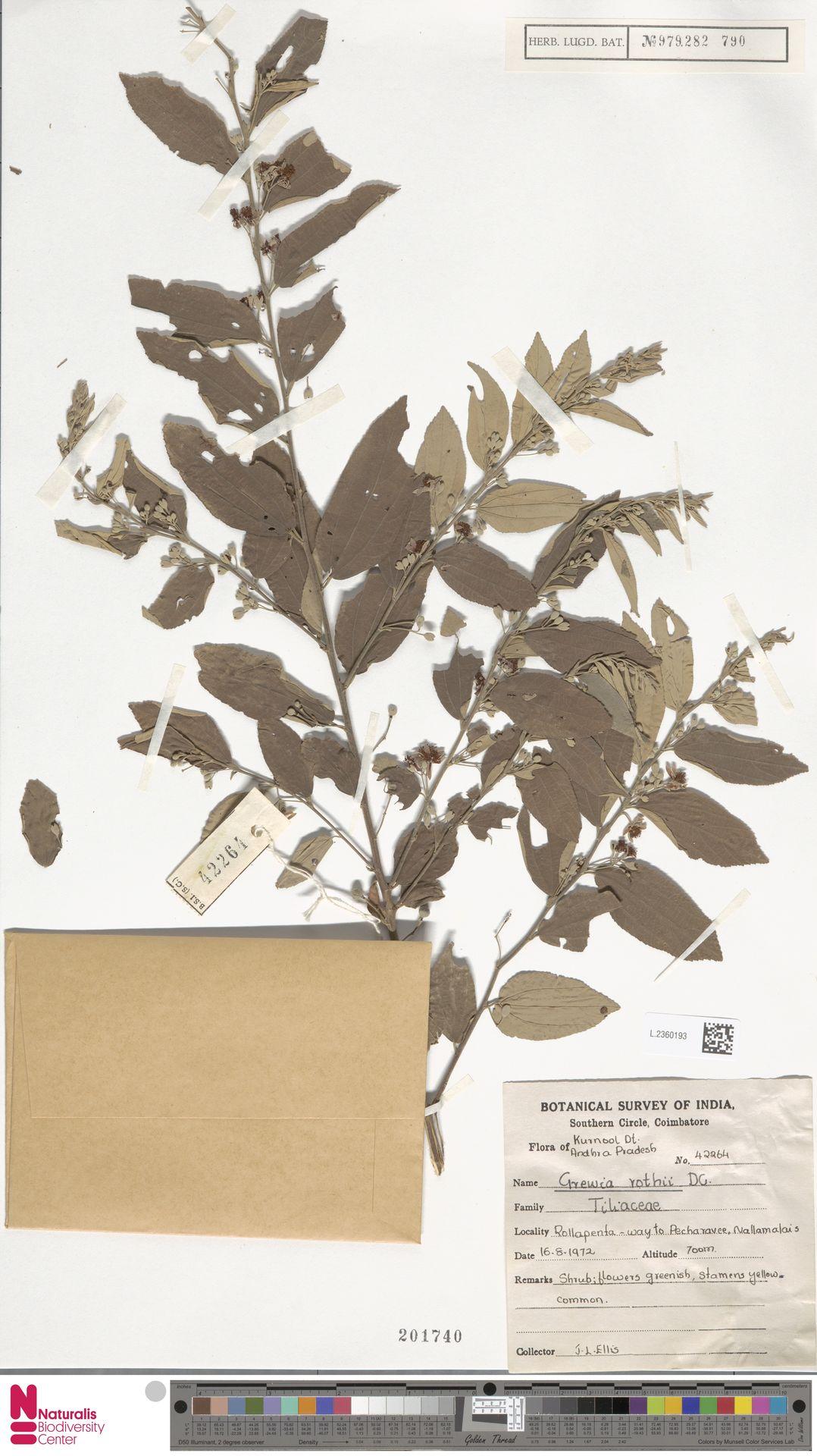 L.2360193 | Grewia rothii DC.
