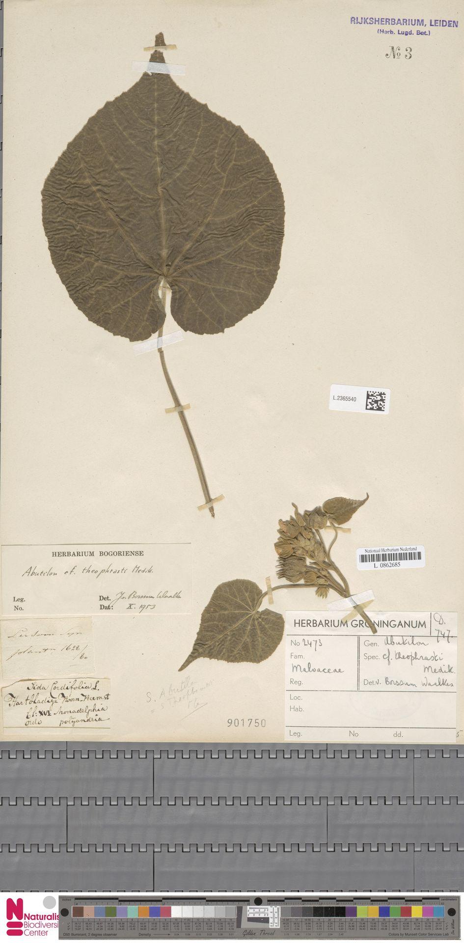 L.2365540 | Abutilon theophrasti Medik.