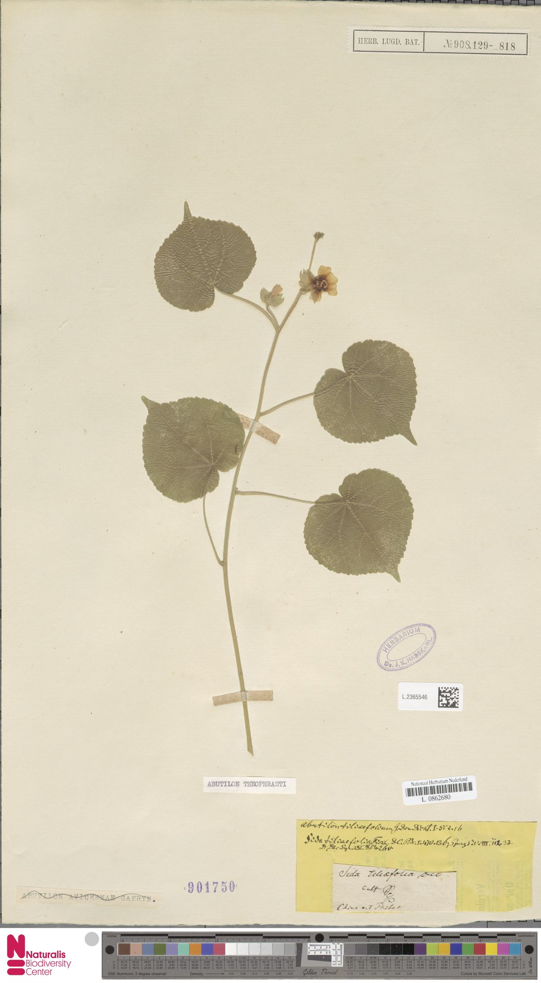 L.2365546 | Abutilon theophrasti Medik.