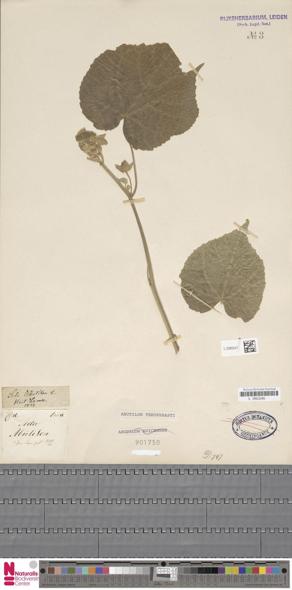 L.2365547 | Abutilon theophrasti Medik.