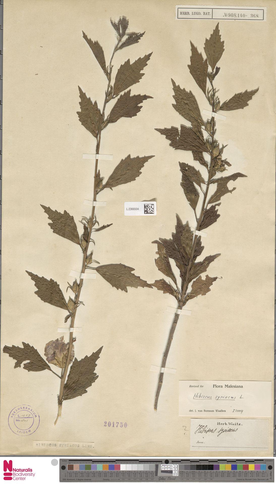 L.2366504 | Hibiscus syriacus L.