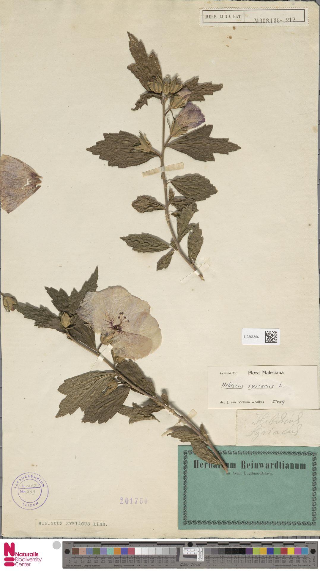 L.2366506   Hibiscus syriacus L.