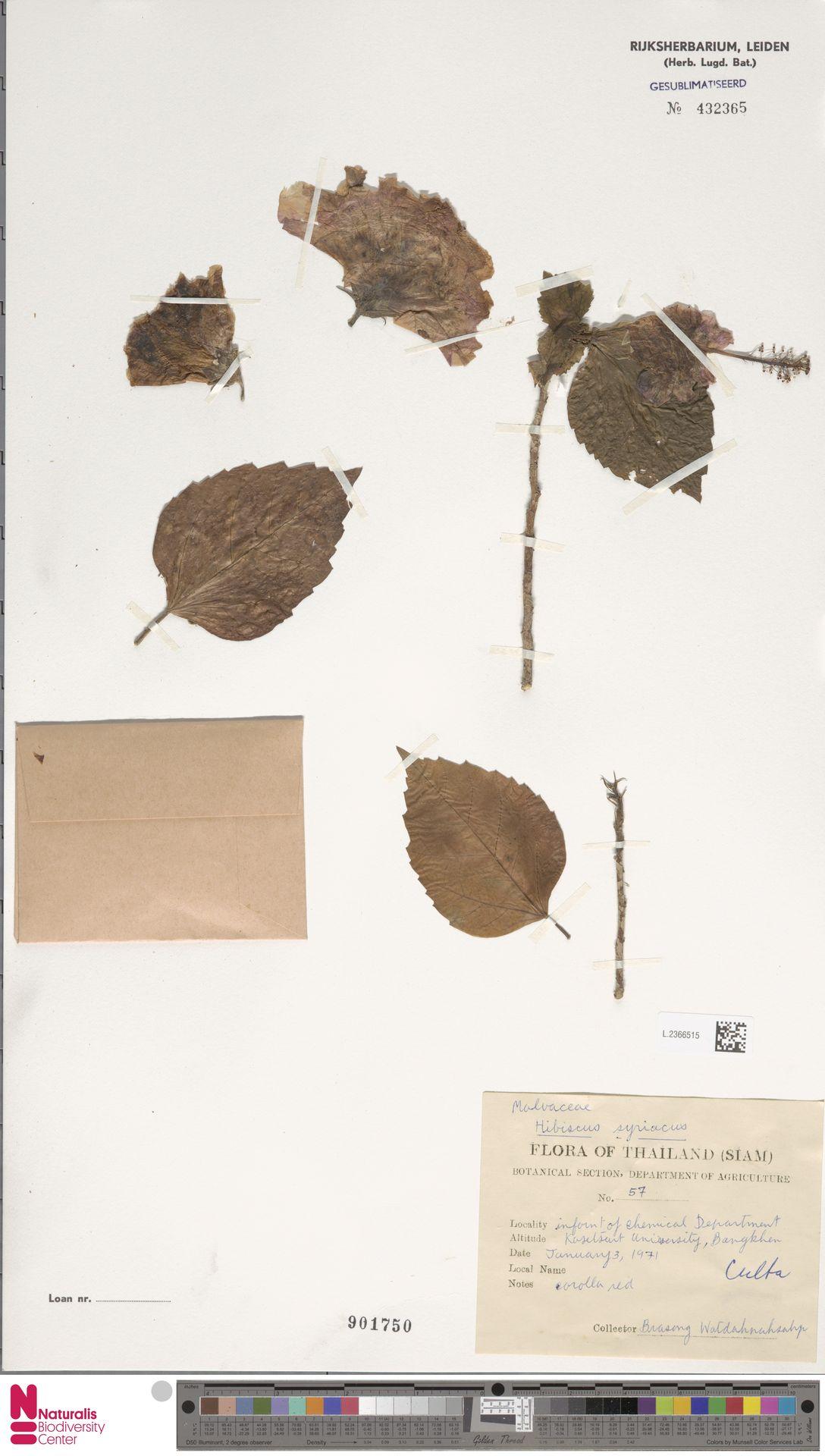 L.2366515   Hibiscus syriacus L.