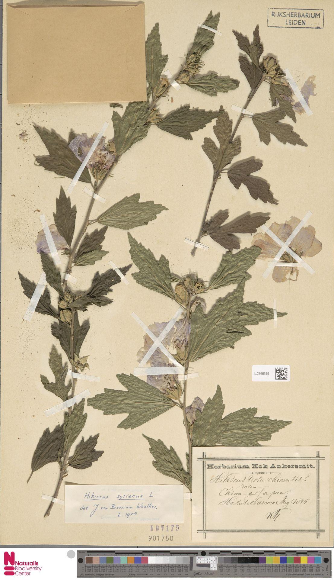 L.2366519 | Hibiscus syriacus L.