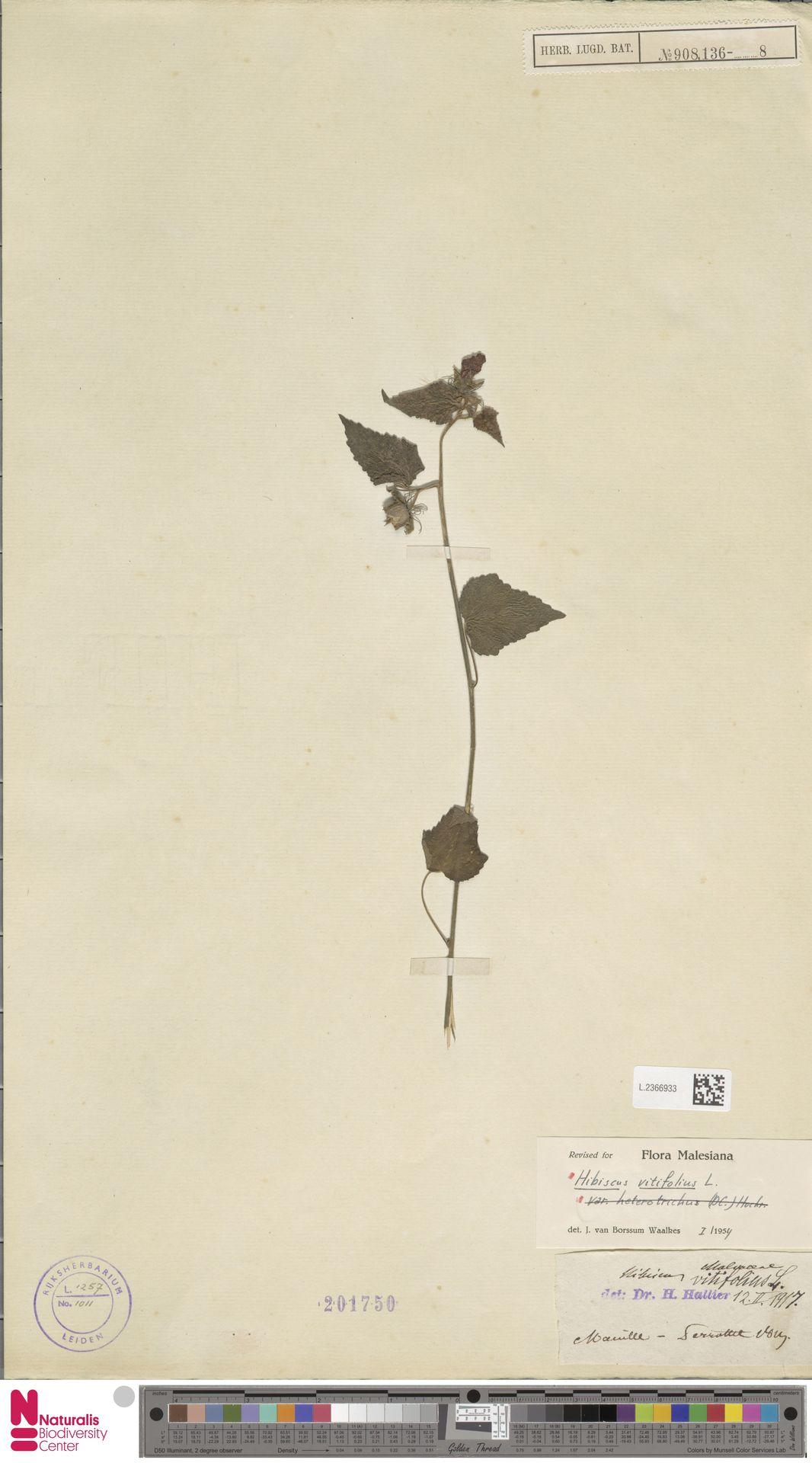 L.2366933 | Hibiscus vitifolius L.