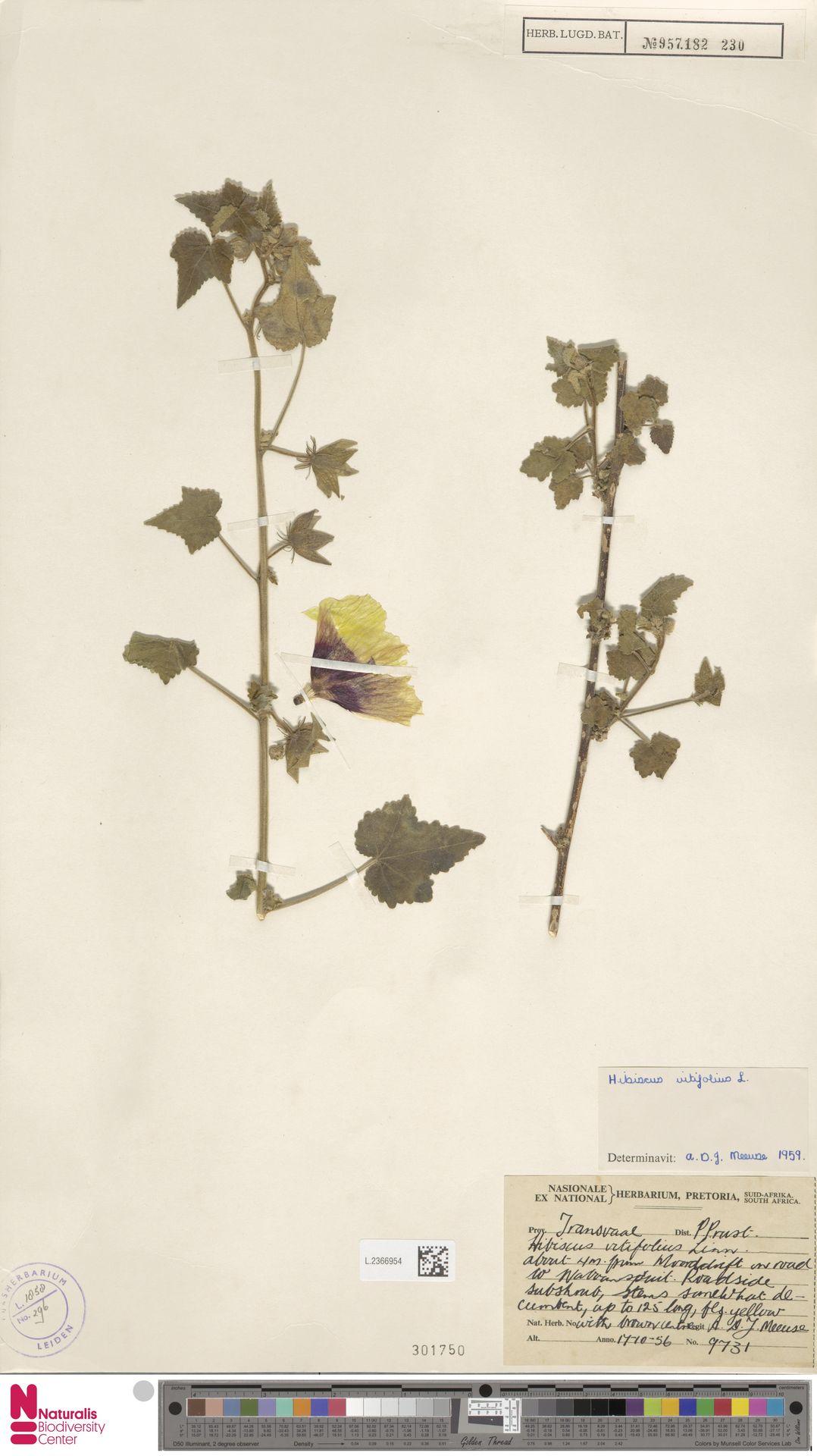 L.2366954 | Hibiscus vitifolius L.