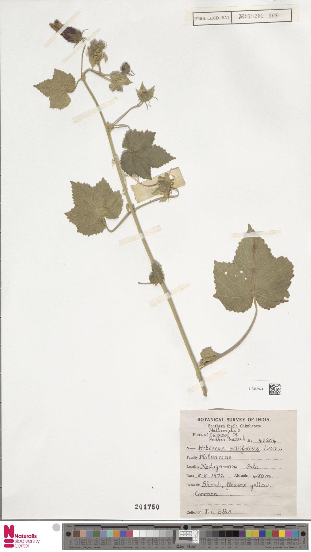 L.2366974 | Hibiscus vitifolius L.
