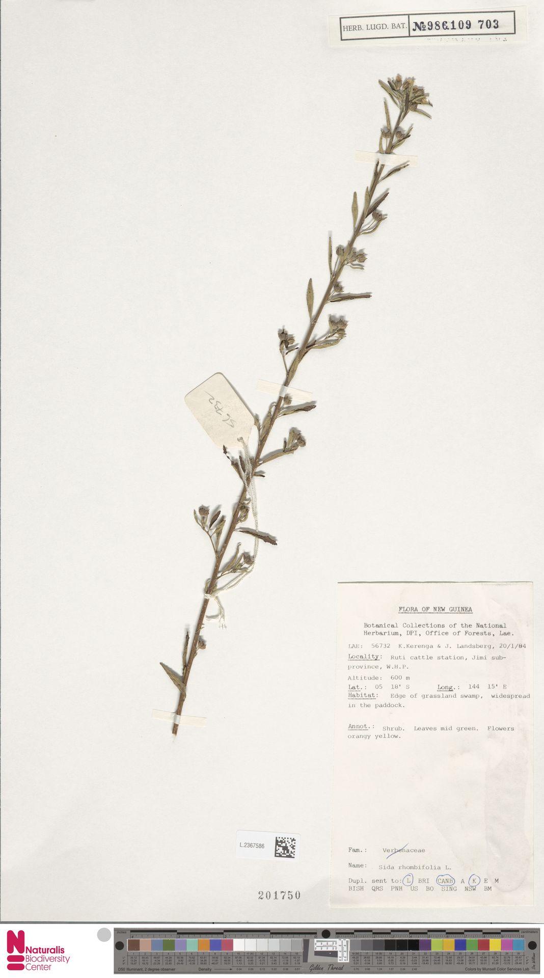 L.2367586   Sida rhombifolia L.