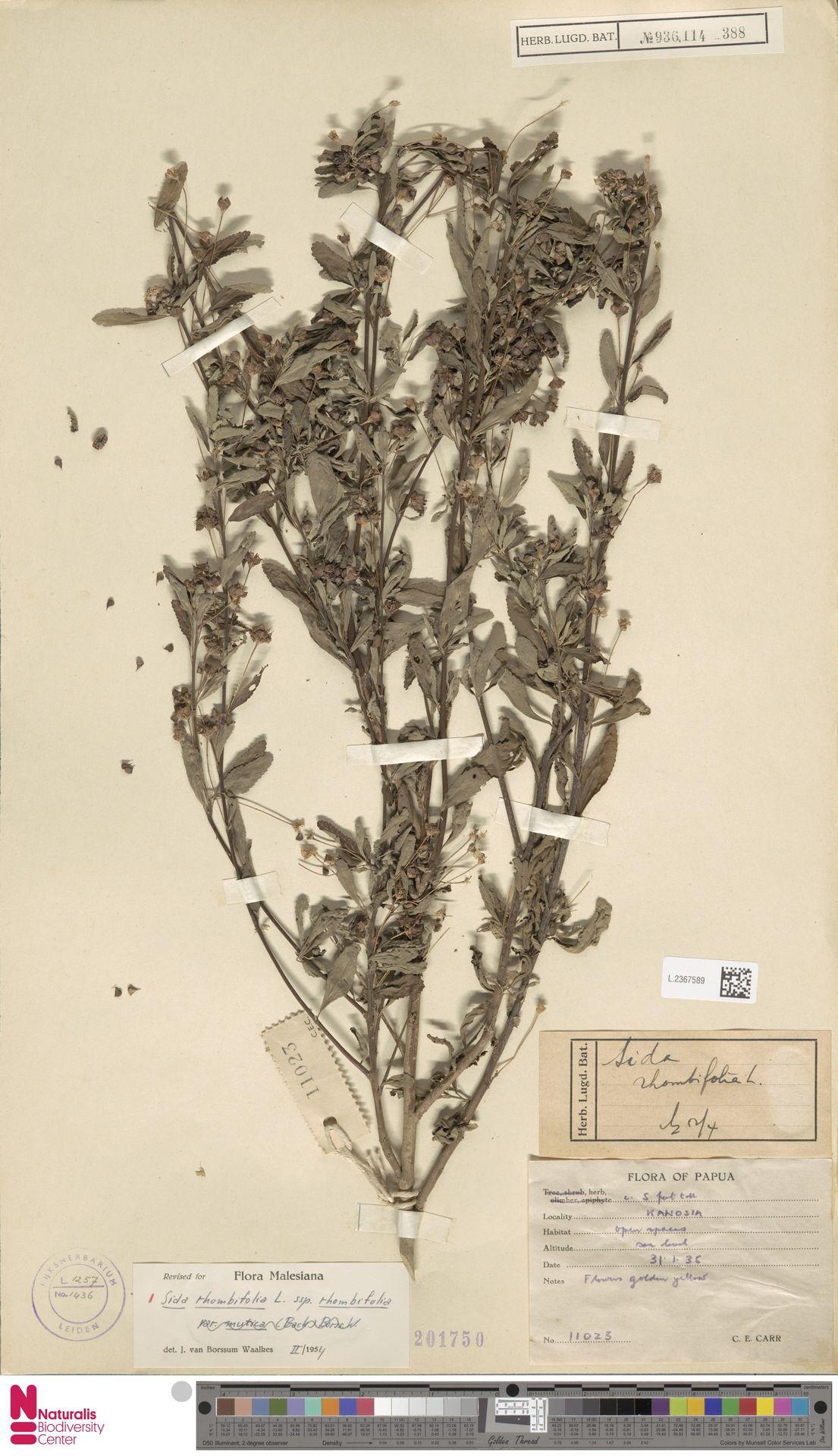 L.2367589 | Sida rhombifolia L.