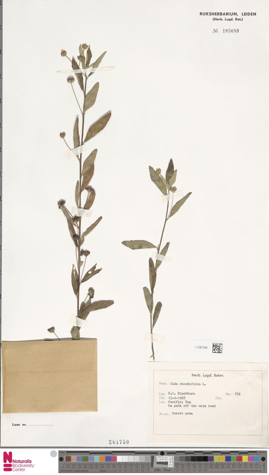 L.2367599 | Sida rhombifolia L.