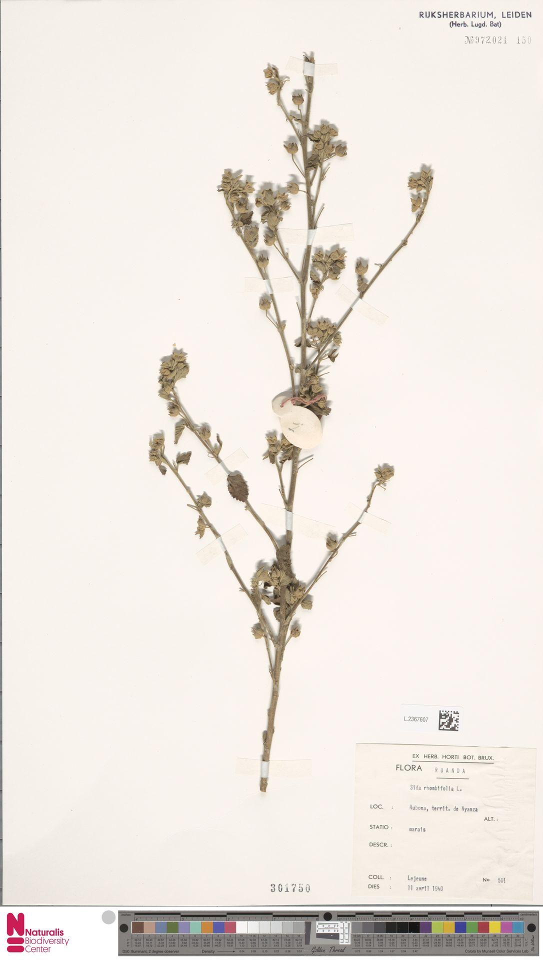 L.2367607 | Sida rhombifolia L.