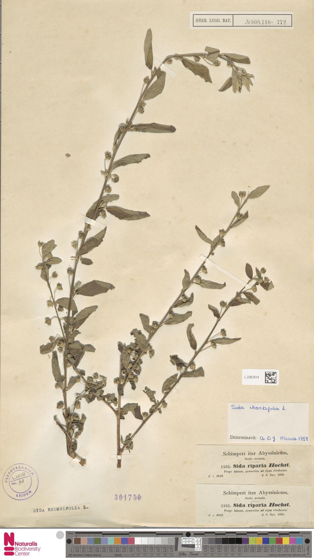 L.2367614 | Sida rhombifolia L.