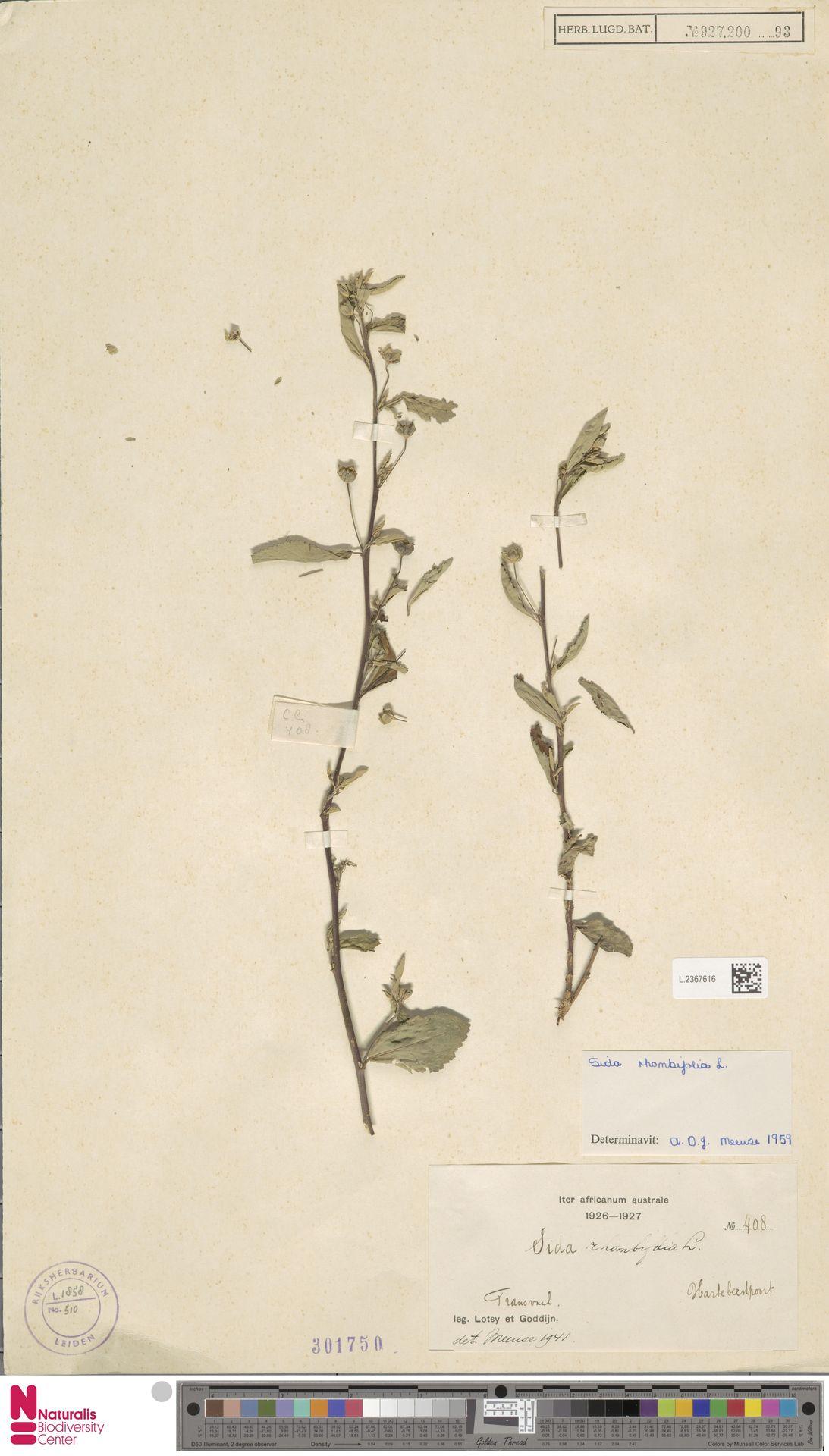 L.2367616 | Sida rhombifolia L.