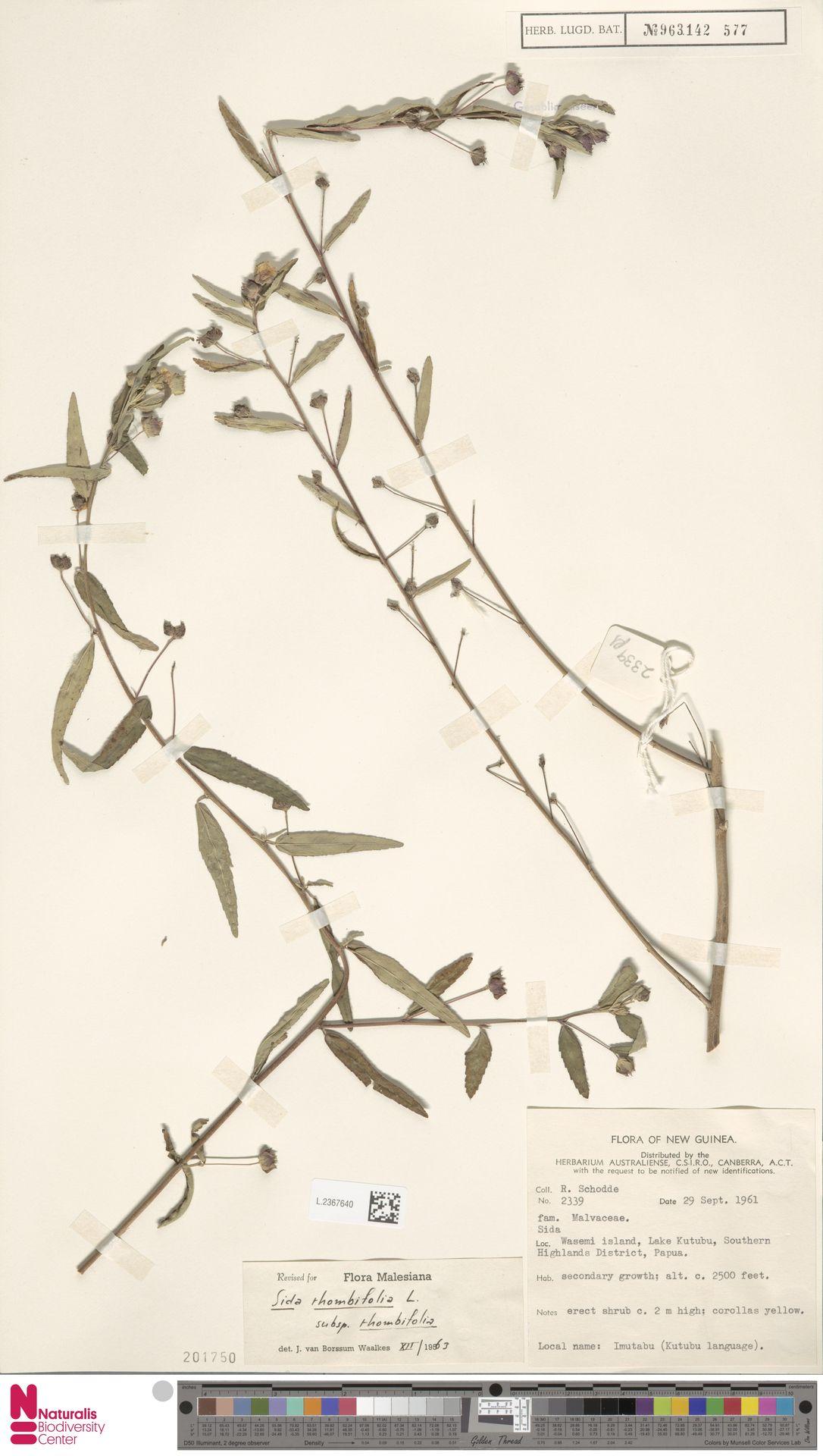 L.2367640   Sida rhombifolia L.