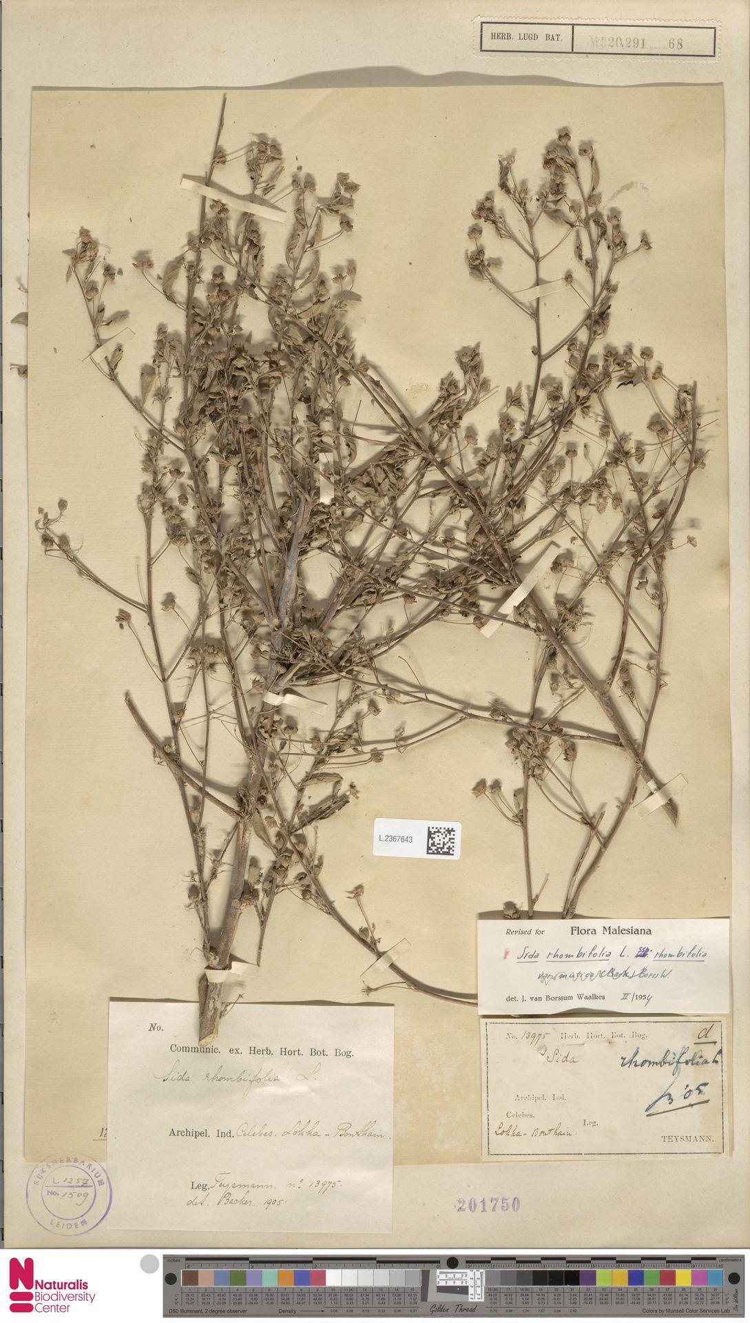 L.2367643 | Sida rhombifolia L.