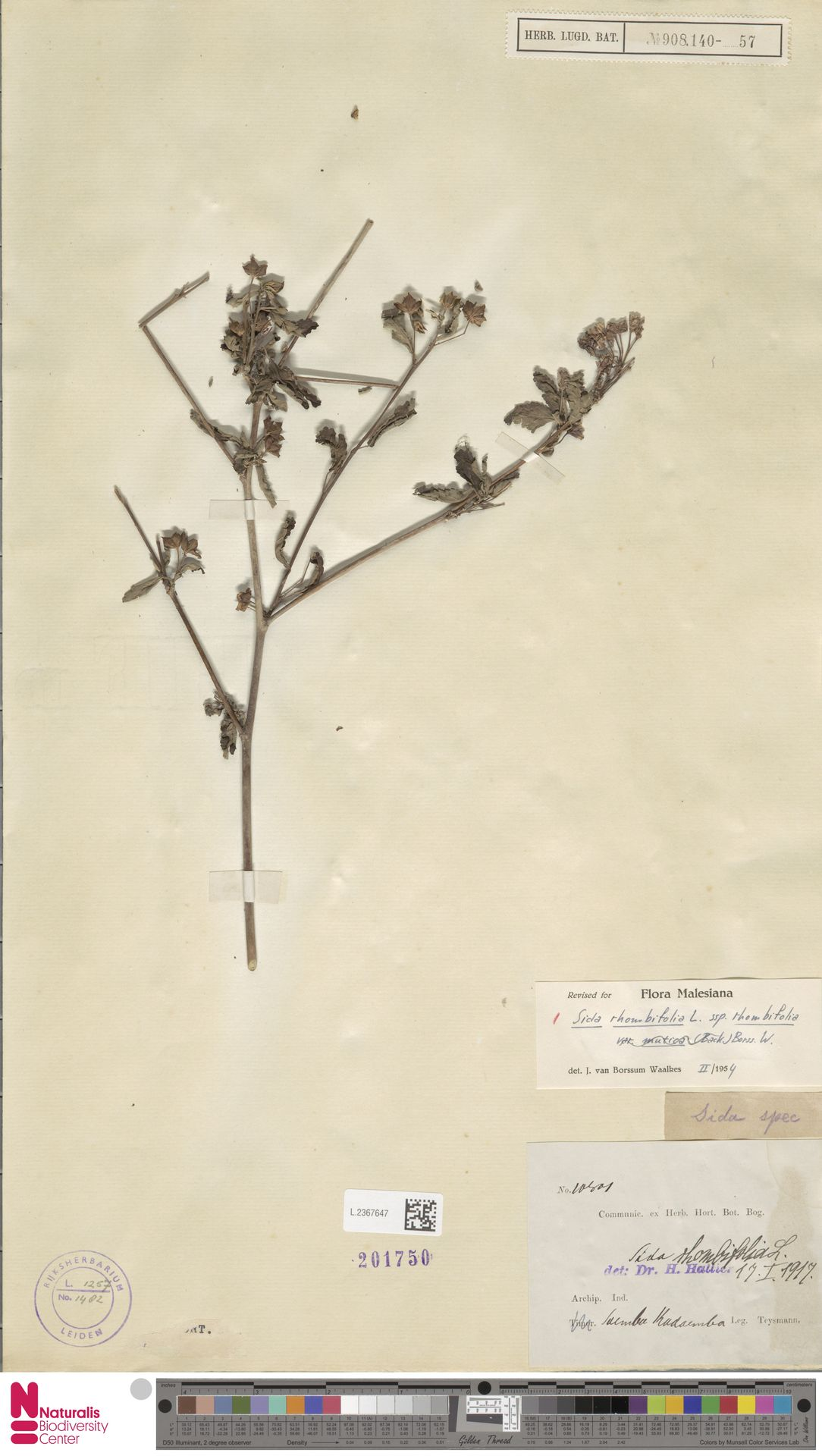 L.2367647 | Sida rhombifolia L.