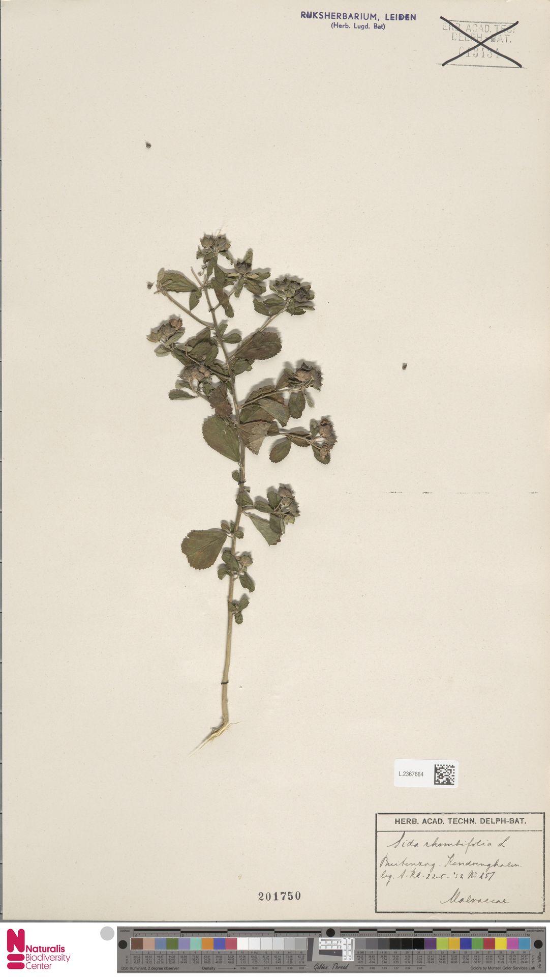 L.2367664 | Sida rhombifolia L.