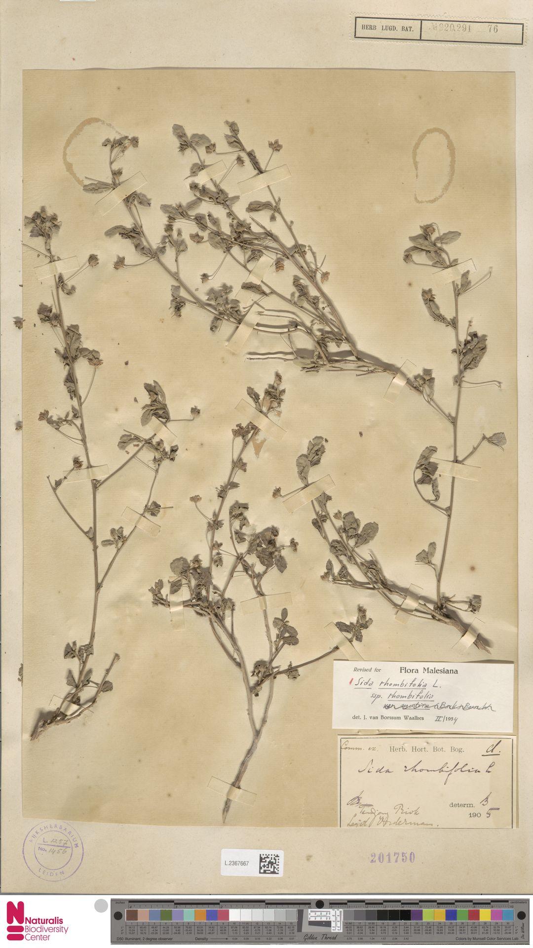 L.2367667 | Sida rhombifolia L.