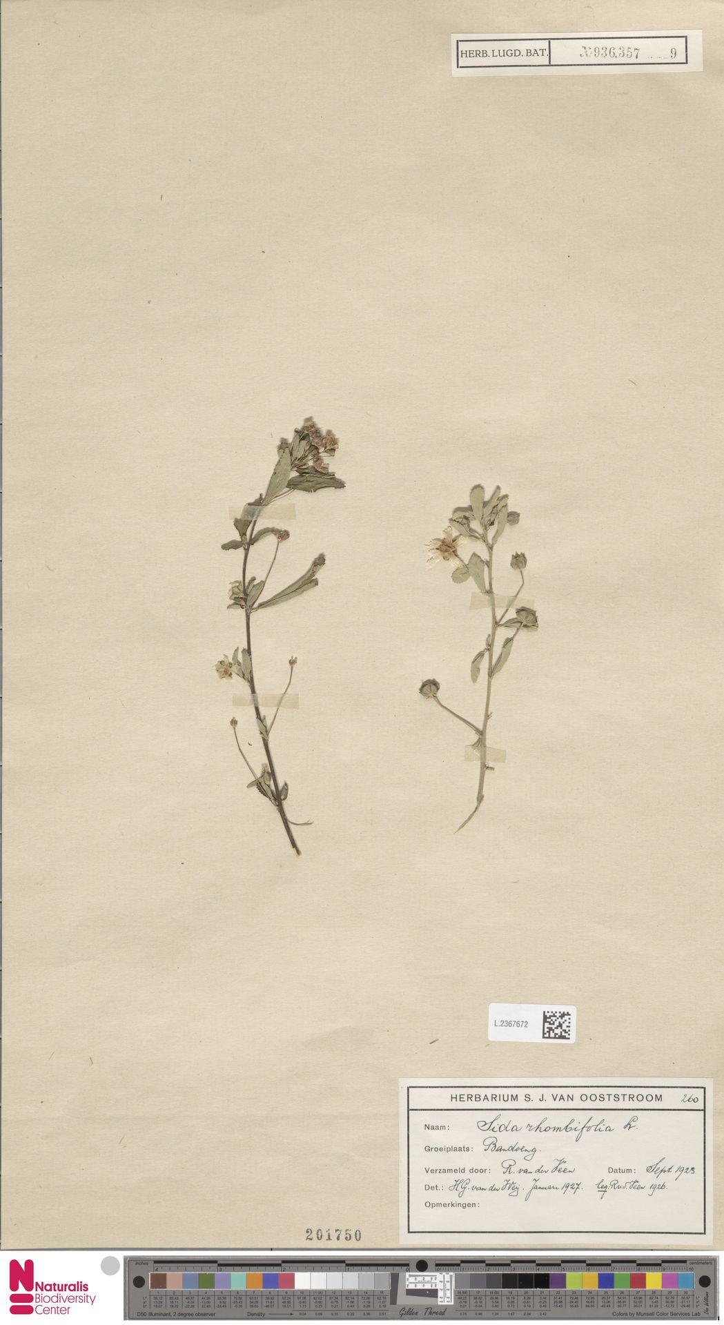 L.2367672 | Sida rhombifolia L.