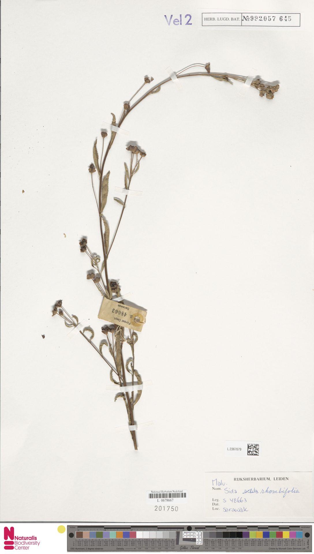 L.2367679 | Sida rhombifolia L.